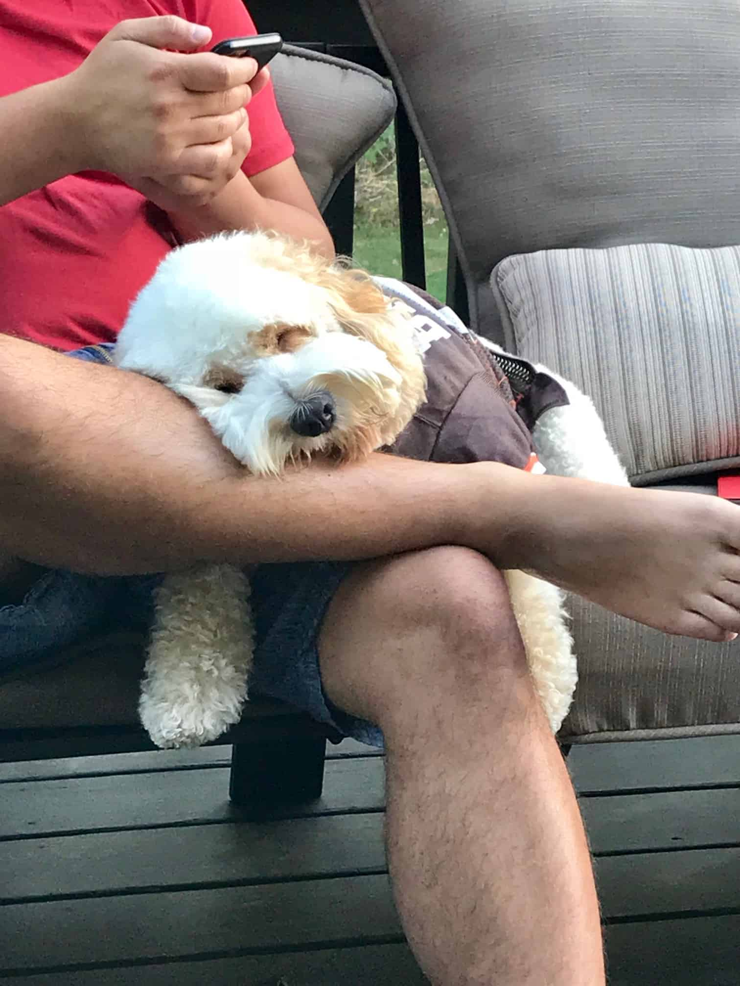 Cockapoo puppy in browns jersey adorably asleep over man's legs